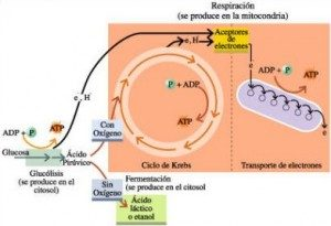 Importancia de la glucólisis(participen) Glucolisis-300x205