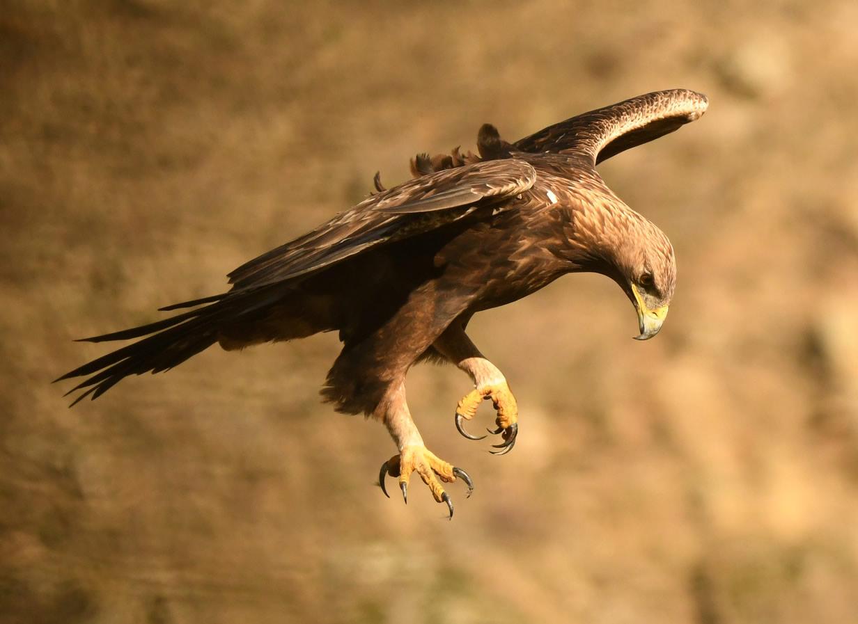 Águila Real (Aquila Chrysaetos), símbolo de México