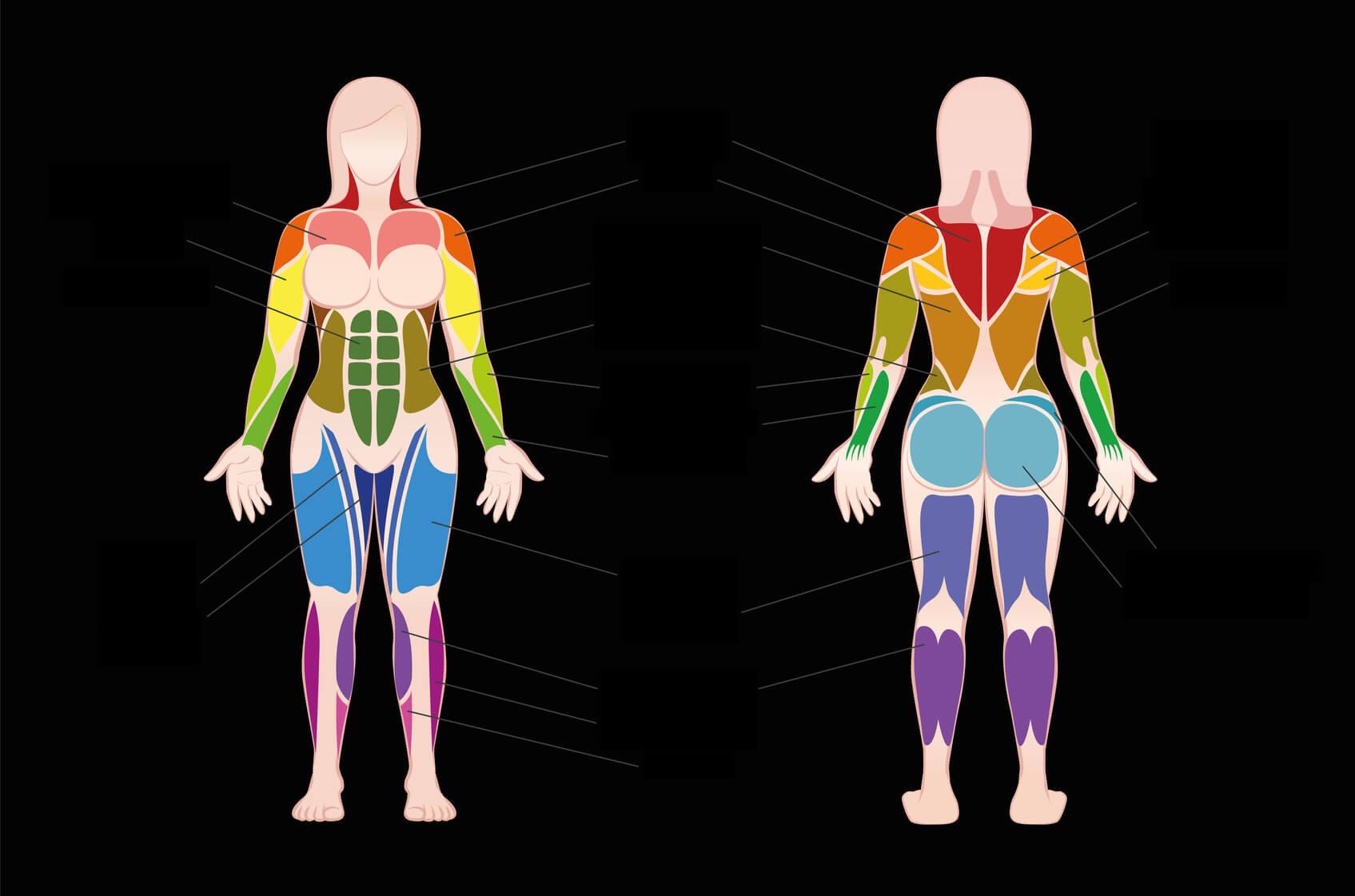 Músculos y la Masa Muscular